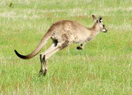 #012 Kangaroo